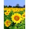 Topný obraz - Slunečnicové pole
