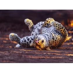 infrapanel - Leopard na zádech