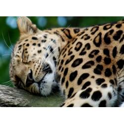 infrapanel - Spící leopard
