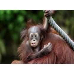 infrapanel - Opičí mládě