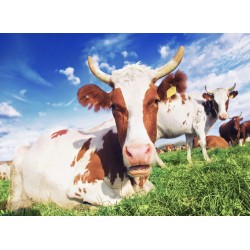 infrapanel - Krávy