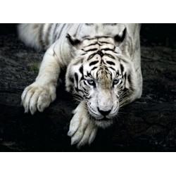 infrapanel - Ležící bílý tygr