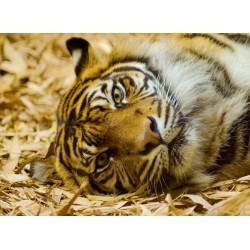 infrapanel - Ležící tygr