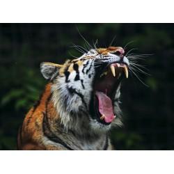 infrapanel - Zívající tygr