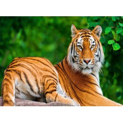 infrapanel - Tygr sibiřský