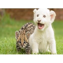 infrapanel - Mláďata kočkovitých šelem