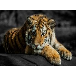 infrapanel - Tygr bengálský