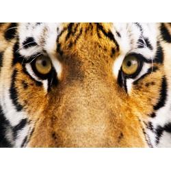 infrapanel - Tygří pohled
