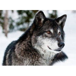 infrapanel - Vlk kanadský
