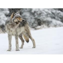 infrapanel - Vlk