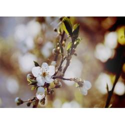 infrapanel - Kvetoucí jabloň