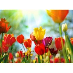 infrapanel - Barevné tulipány
