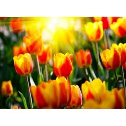infrapanel - Žluto červené tulipány