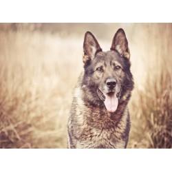 infrapanel - Pes v obilí