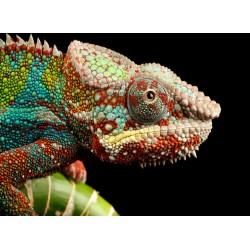 infrapanel - Zbarvený chameleon