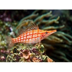 infrapanel - Ryba na korálovém útesu