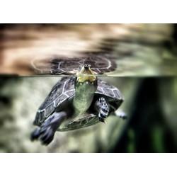 infrapanel - Vodní želva