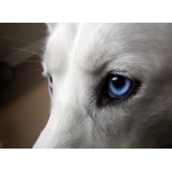 infrapanel - Psí oči