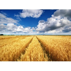infrapanel - Cesta v obilí