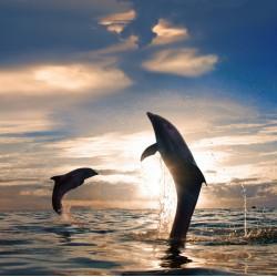 infrapanel - Skákající delfíni