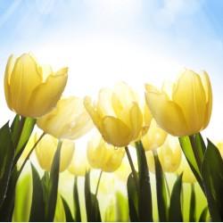 infrapanel - Tulipány