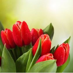 infrapanel - Červené tulipány