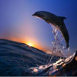 infrapanel - Delfín ve vlnách