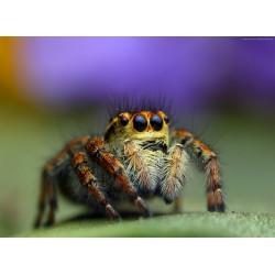 infrapanel - Pavouk